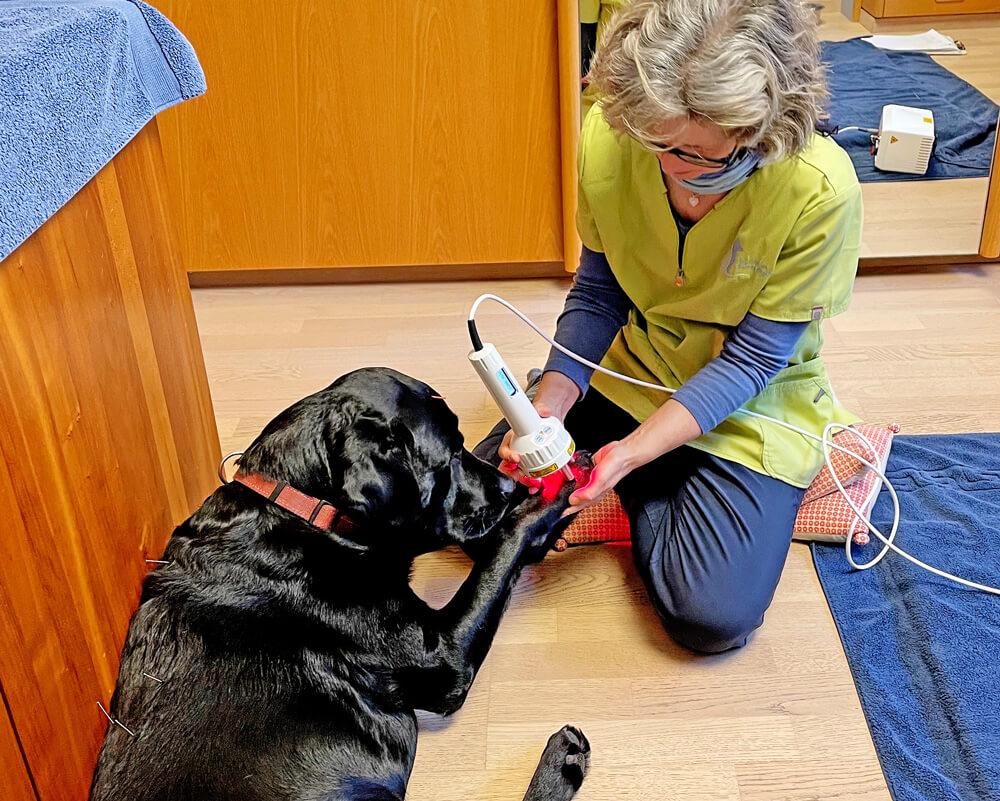 Ein Hund wird mit einer Lasertherapie behandelt